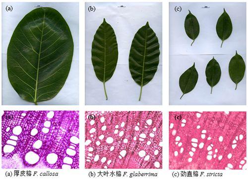 图1 热带3种榕树(厚皮榕,大叶水榕,劲直榕)的叶片形态和小枝横切图片